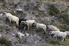 绵羊串在山道路的 库存图片