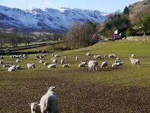 以绵羊为特色的农村场面在湖区 库存图片