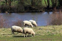 绵羊为他们的牛奶和他们的肉也保持了 免版税库存图片