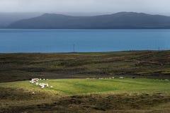 绵羊人群在绿色领域的与大西洋海和山脉背景 免版税库存图片