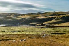 绵羊人群在黄色领域的有黄色小山背景 免版税库存照片