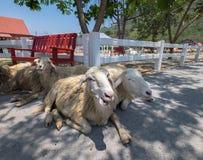 绵羊休息 图库摄影