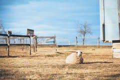 绵羊休息 免版税库存照片