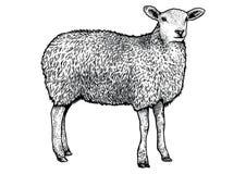 绵羊例证,图画,板刻,线艺术,现实 向量例证