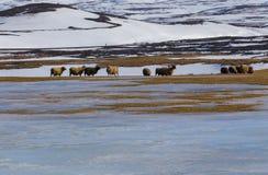 绵羊农场在与山雪的冬天coved 库存图片