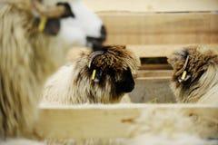 绵羊农场 免版税库存图片