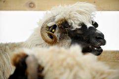 绵羊农场 免版税库存照片