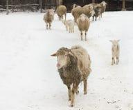 绵羊农场 库存照片