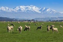 绵羊农场 免版税图库摄影