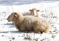 绵羊冬天平安的时间 库存照片
