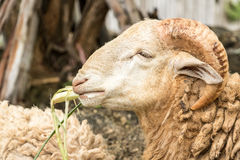绵羊动物在农场泰国 库存照片