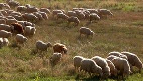 绵羊吃着草 股票录像