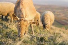 绵羊吃草在与其他的领域在背景面对 免版税图库摄影
