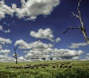 绵羊吃草在蓝天下在新南威尔斯澳大利亚 免版税库存照片