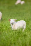 绵羊吃草 免版税图库摄影