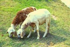 绵羊吃食物 免版税库存照片