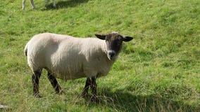 绵羊吃 图库摄影