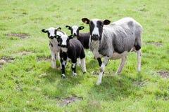 绵羊和三只羊羔在草甸 免版税库存照片