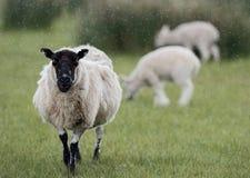 绵羊和两只羊羔在雨中 免版税图库摄影