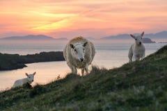 绵羊和两只羊羔在Scottlands在日落沿岸航行 免版税库存图片