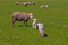 绵羊和两只羊羔 库存照片