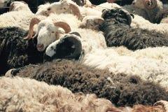 绵羊和公羊 库存图片