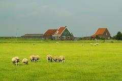 绵羊和农场在Marken。 库存照片