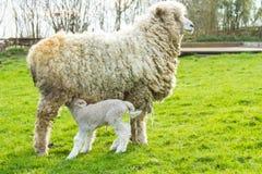 绵羊和她新出生的羊羔 免版税库存照片