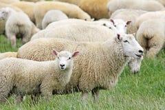 绵羊和她的羊羔 免版税库存照片