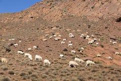 绵羊和山羊在摩洛哥山 免版税库存照片