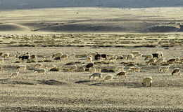 绵羊和山羊群 免版税库存图片