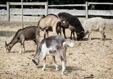 绵羊和山羊 库存图片