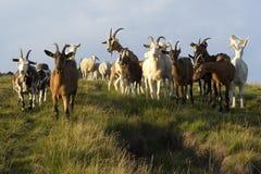 绵羊和山羊 免版税库存图片