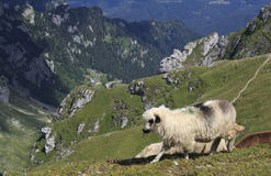 绵羊和山风景 库存图片