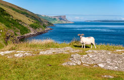 绵羊和峭壁 北爱尔兰精华  库存照片
