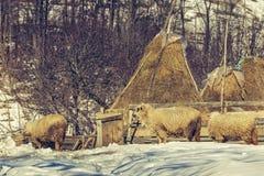 绵羊和干草堆在冬天 免版税库存图片
