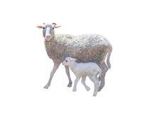 绵羊和幼小小的羊羔 免版税库存图片