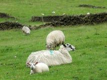 绵羊和春天羊羔在约克夏 库存图片