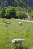 羊和牧场地 Vernayaz, Martigny,瑞士 免版税库存图片