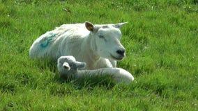 绵羊和羊羔 股票视频