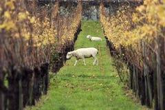 绵羊和葡萄园 免版税图库摄影