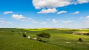 绵羊和马在家在滚动的苏克塞斯乡下 库存照片
