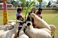 绵羊哺养 免版税库存照片