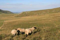 绵羊在一个领域吃草在奥韦涅(法国) 库存图片