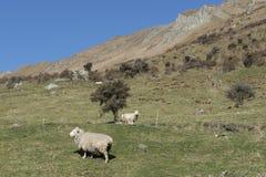 绵羊在一个绿色草甸 免版税库存图片