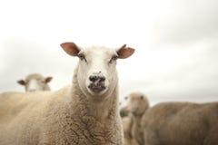 绵羊在一多云天 图库摄影