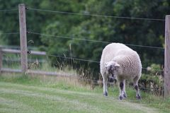 绵羊在丹麦 免版税图库摄影
