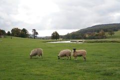 绵羊在公园 免版税库存照片