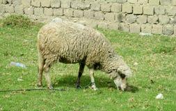 绵羊在农场土地 免版税库存照片