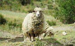 绵羊在农场土地 库存照片